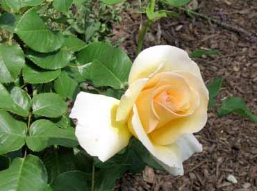 ndm_garden_rose